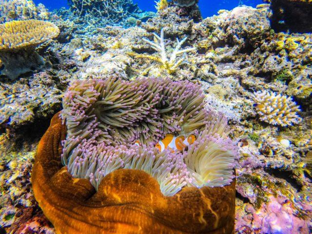 バラス島シュノーケリング、カクレクマノミ、サンゴ礁