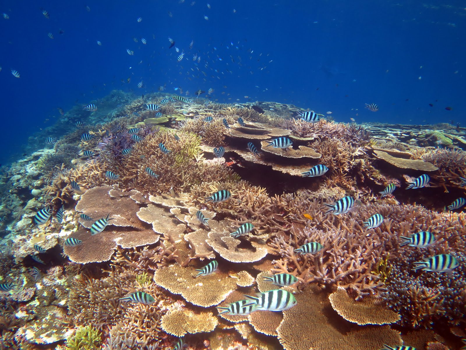 西表島の美しいサンゴとカラフルな魚達