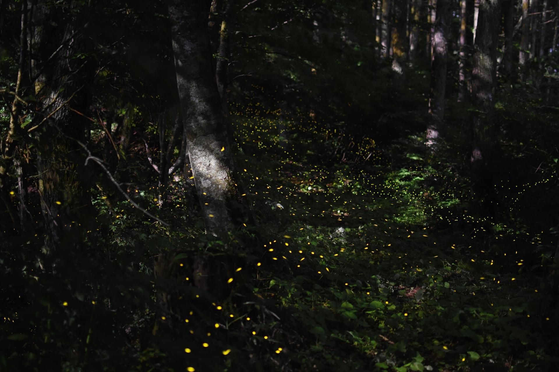 西表ジャングル辺り一面に輝くヤエヤマヒメボタル