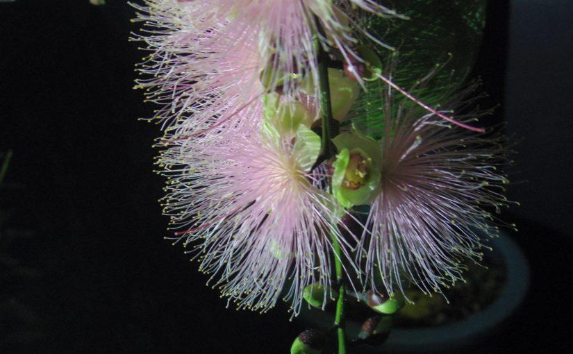 一夜しか咲かないサガリバナ