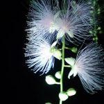 暗闇に浮かび上がる美しいサガリバナ