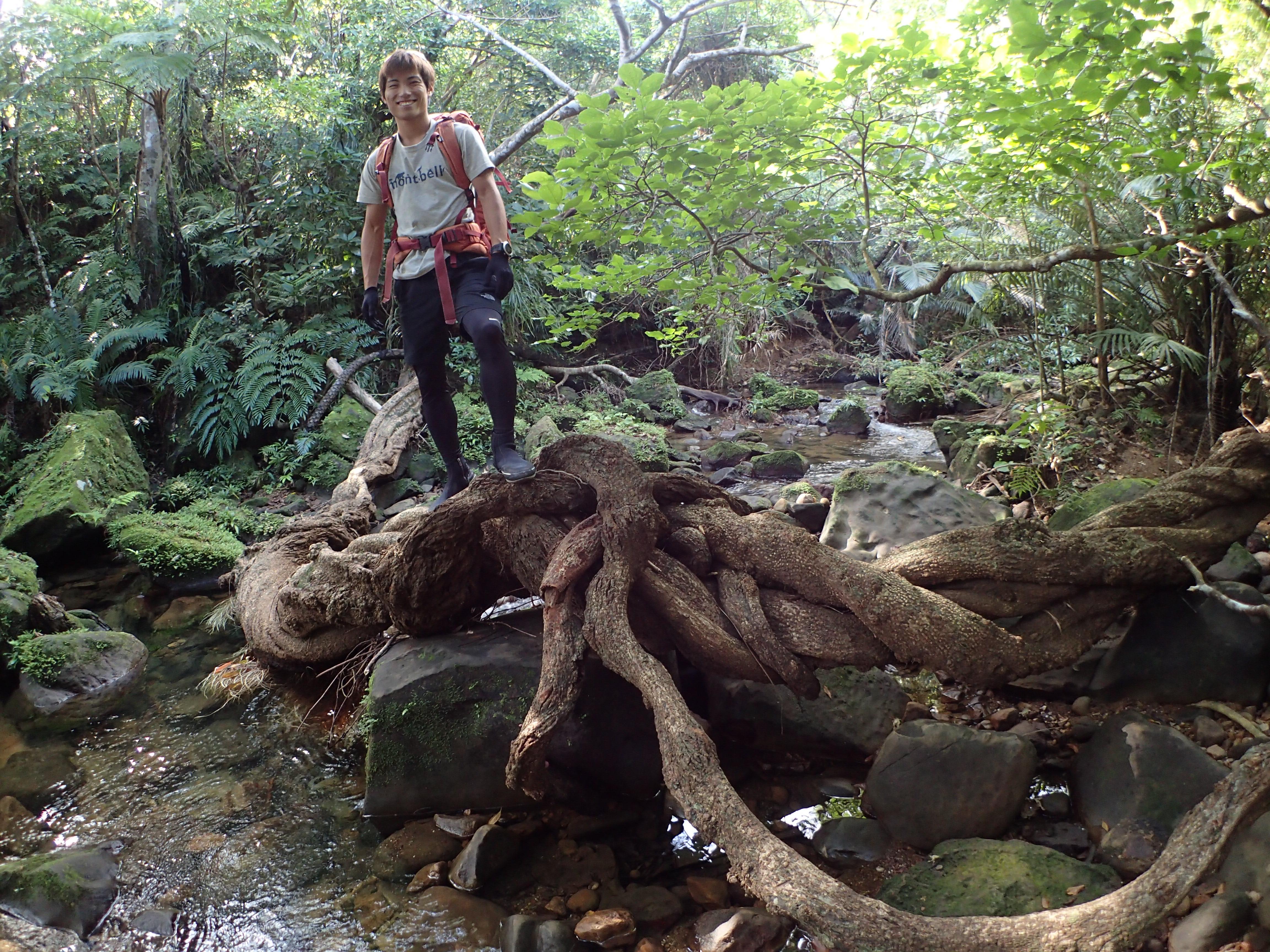 西表島のユツンの滝へ向かう途中の巨大な木の根