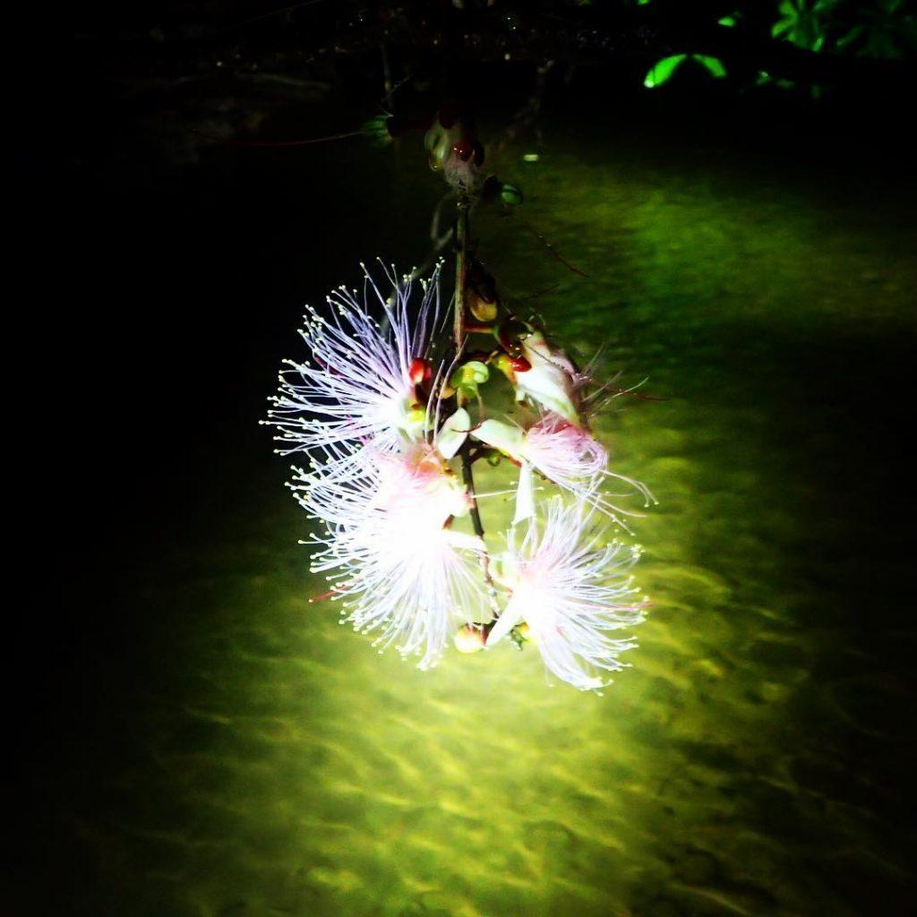 マングローブ川に落ちたサガリバナ