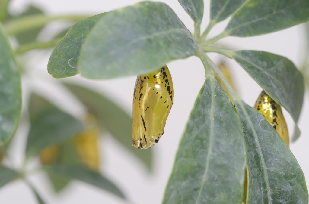 由布島の金の蛹