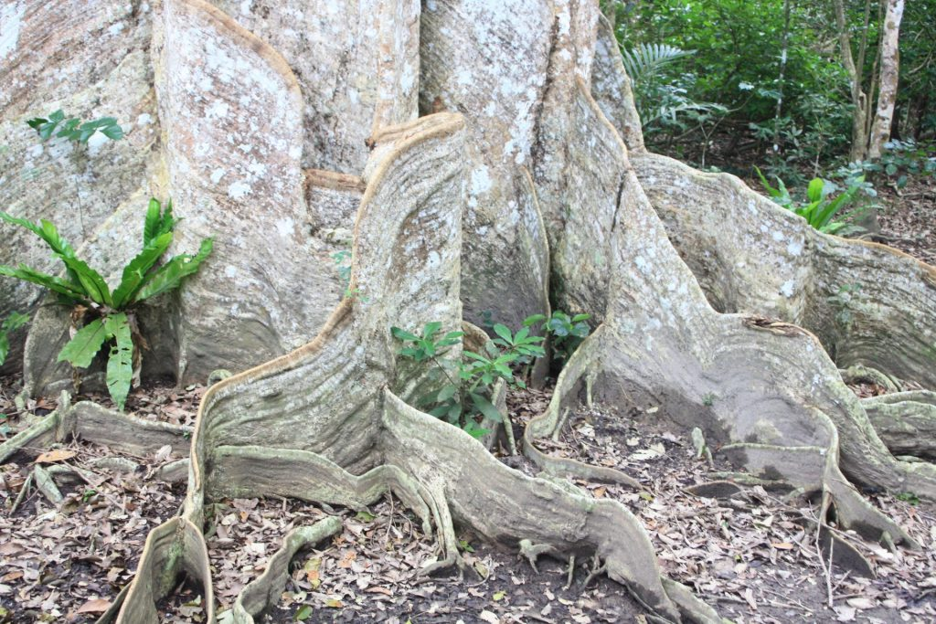 サキシマオウノキで見られる板根