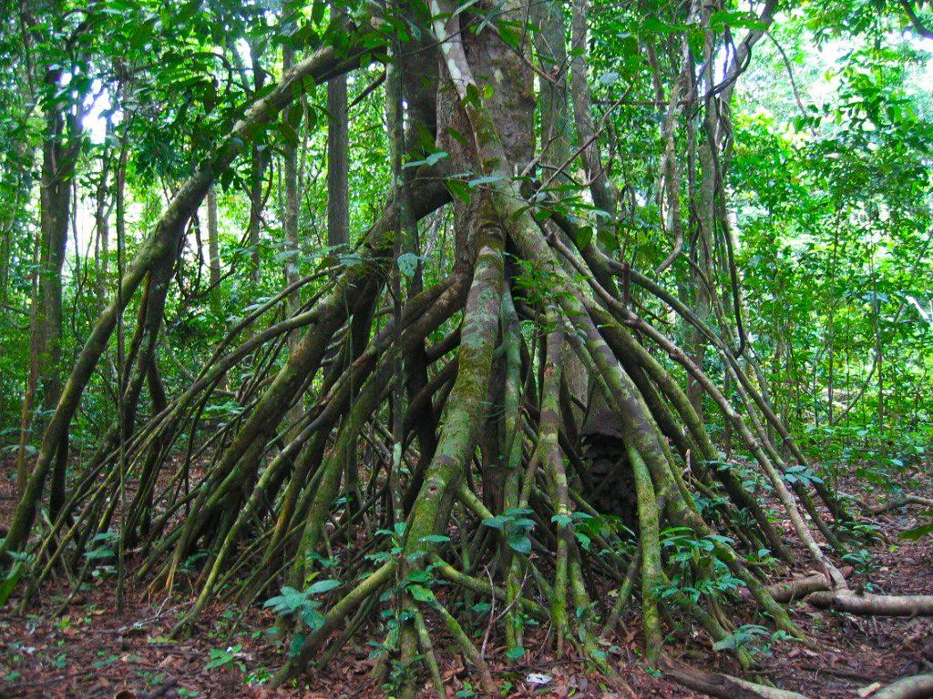 マングローブの支柱根