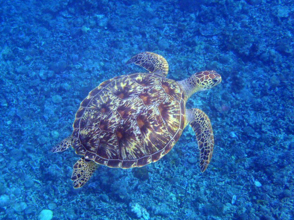 西表島シュノーケルでウミガメに出会う
