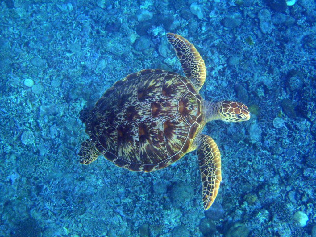 西表島の海ガメ