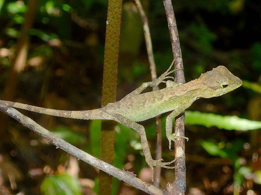 亜熱帯ジャングルに生息するトカゲ