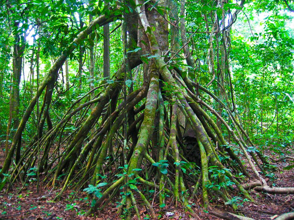 西表島マングローブに生える支柱根