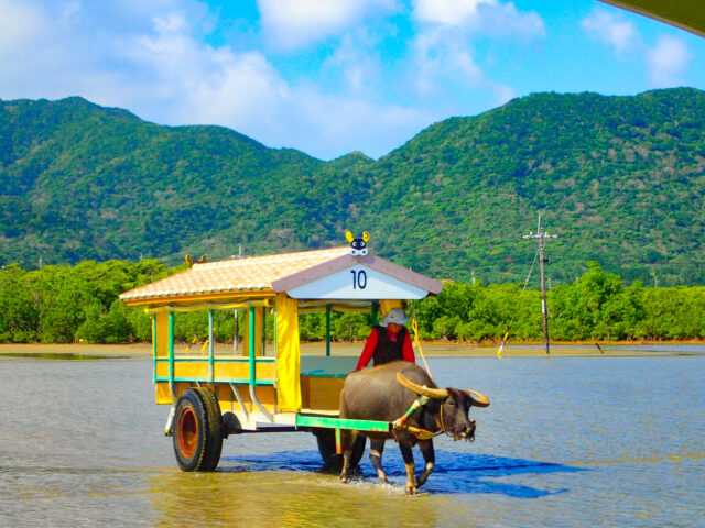 由布島観光スポットでおすすめの水牛車