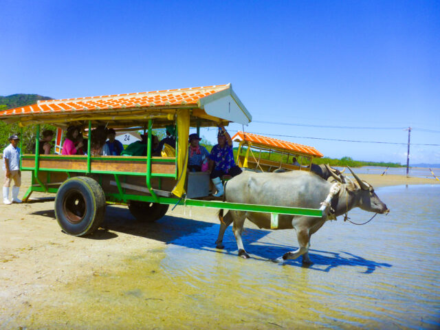 観光客を乗せた水牛