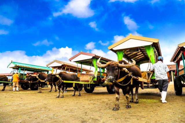 西表島の水牛車が由布島へ向かう準備