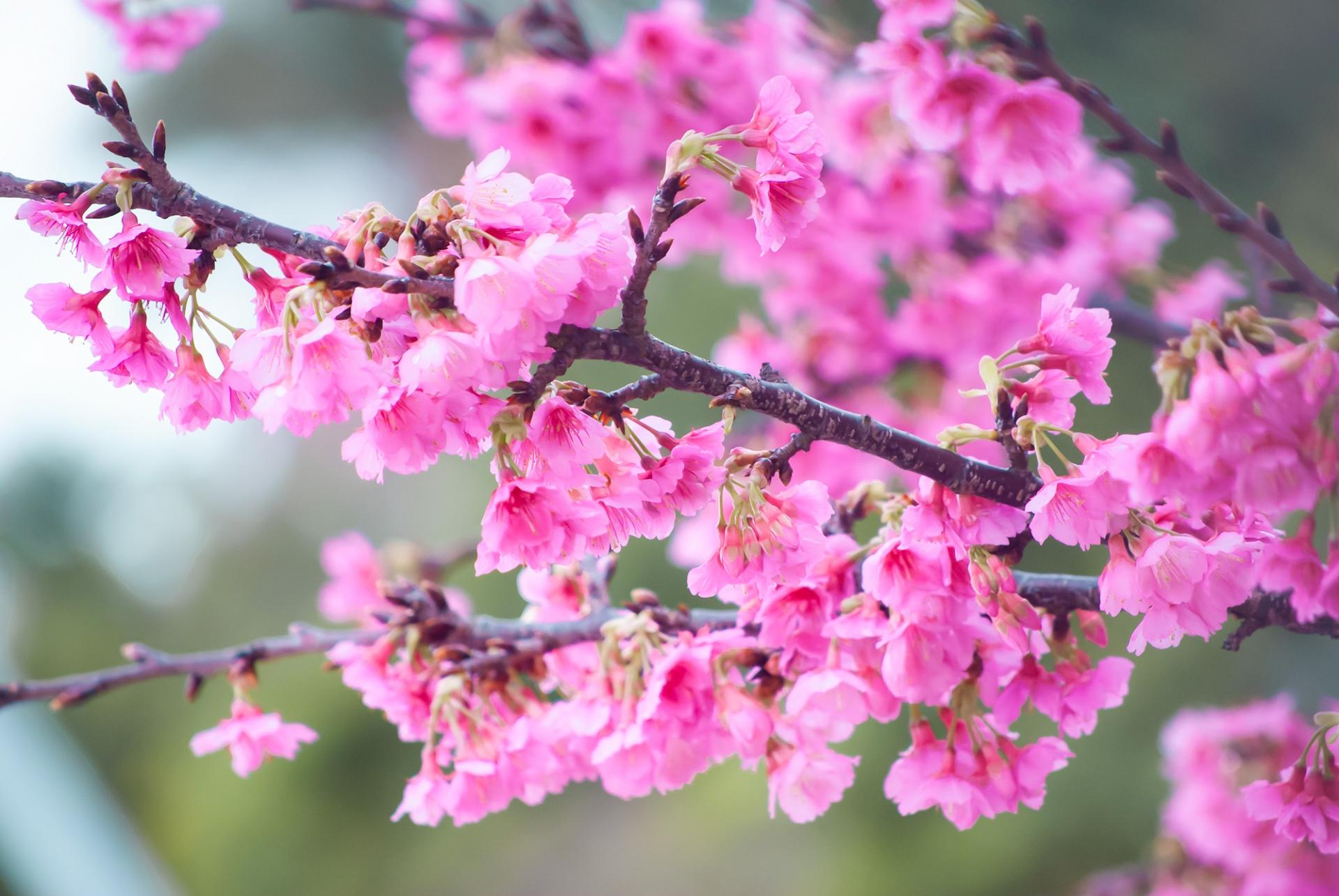 冬の寒緋桜